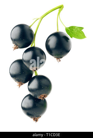 Isolated berries. Fresh black currants hanging on a branch isolated on white background with clipping path - Stock Photo