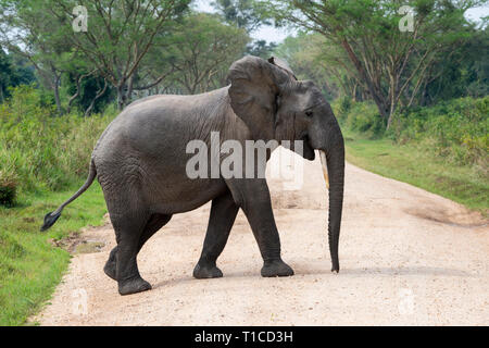 Solitary African elephant (Loxodonta Africana) crossing track in Ishasha Sector of Queen Elizabeth National Park in South West Uganda, East Africa - Stock Photo