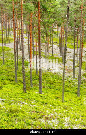 Pine forest view in the summer - Stock Photo
