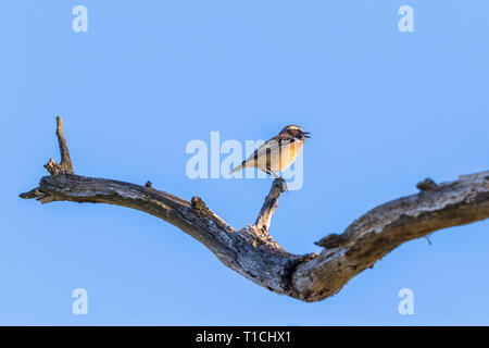 Whinchat bird sitting on a tree branch and singing - Stock Photo