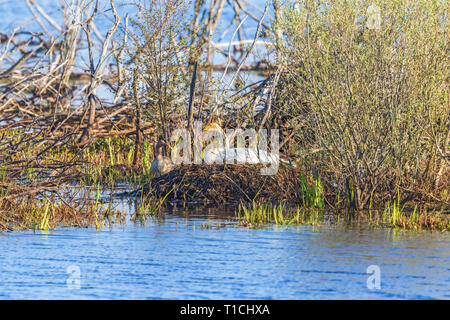 Whooper swan lying on a nest in the water at springtime - Stock Photo