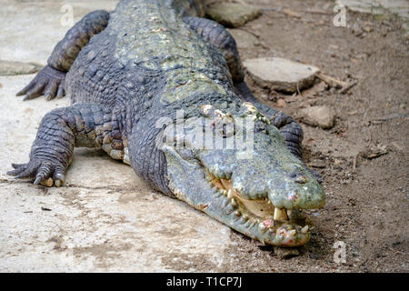 A huge crocodile on ground with an open jaws and with teeths. - Stock Photo