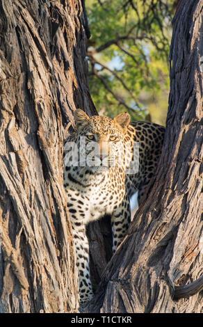 Leopard staring from a tree, Okavantgo Delta, Botswana - Stock Photo