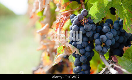 Close up on red grapes in a vineyard in late summer short before harvest. - Stock Photo