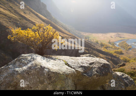 Wild bonsai of pine on sandstone rocks.  Yellow mist in valley below peak. Autumnal foggy weather bellow. - Stock Photo