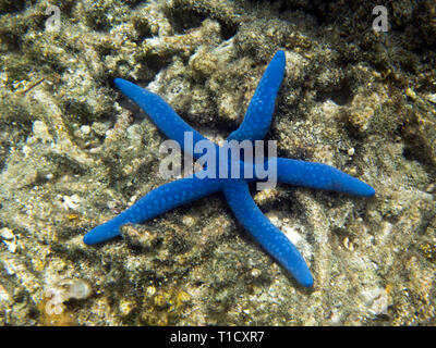 A beautiful blue star close up in Sulawesi, Indonesia - Stock Photo