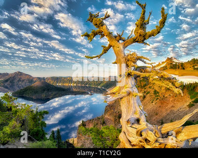 Dead Whitebark Pine tree with puffy cloud reflection, Crater Lake and Wizard Island. Crater Lake National Park, Oregon - Stock Photo