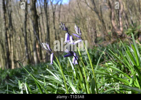 A bluebell in bloom in March, at least two weeks before other bluebells come into flower. In Ide Hill, Kent on the Greensand Way - Stock Photo