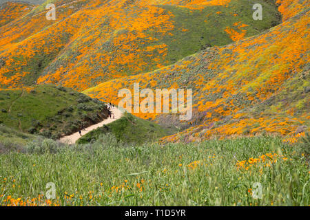 people on trail through wildflower super bloom in California - Stock Photo
