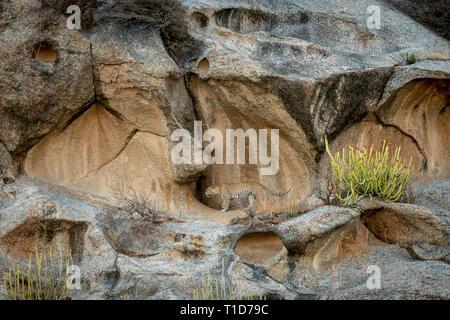 Leopard in its habitat at Bera,Rajasthan,India - Stock Photo