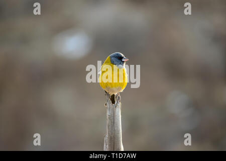 Little Yellow Bird >> Little Yellow Bird With Blue Head Standing On A Stick Stock Photo