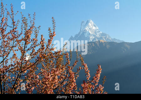 Mount Machapuchare (from Nepali meaning 'fishtail' )against the backdrop of a flowering tree, Annapurna Conservation Area, Himalayas, Nepal. - Stock Photo