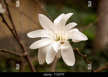 Magnolia flower in the spring - Stock Photo