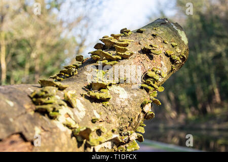 A branch previously cut from a tree with bracket fungi (probably Trametes versicolor) of green and yellow colouring growing from the decaying bark - Stock Photo