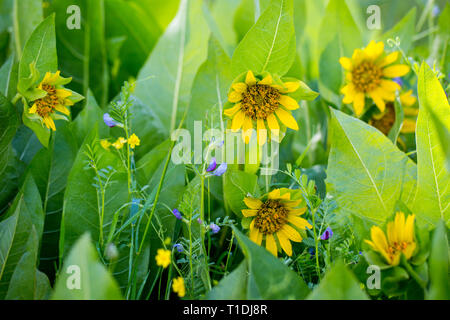 Narrow-leaf Mule Ears, a native perennial herb, and other wildflowers in a field at Van Hoosear Wildflower Preserve in Sonoma, California - Stock Photo