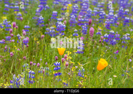 Field of California poppies, owl's clover, Douglas' lupine, and other wildflowers in Sonoma Valley - Stock Photo