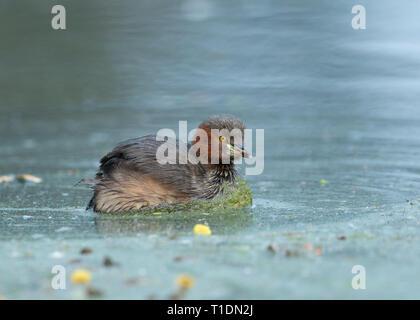 Little Grebe at Bharatpur Bird Sanctuary,Rajasthan,India - Stock Photo