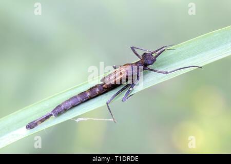 Banded demoiselle larva, Calopteryx splendens - Stock Photo