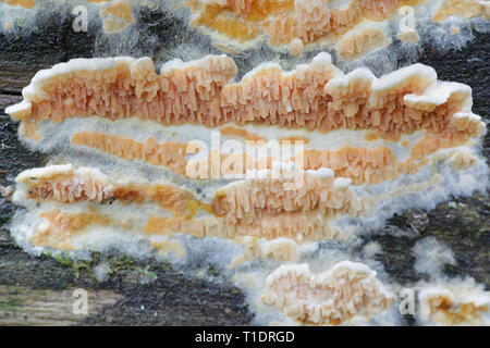 Warped orange crust fungus, Leucogyrophana mollusca - Stock Photo