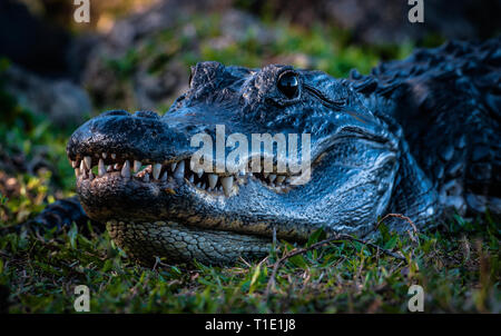 Closeup of an American Alligator at Shark Alley, Everglades National Park. - Stock Photo