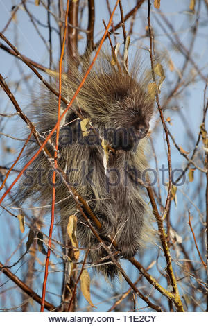 North American porcupine eating branches in Antelope Island, Utah - Stock Photo