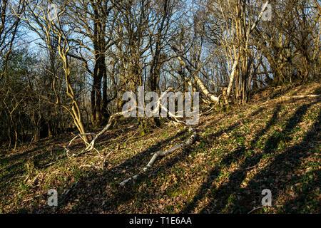 Keywords  Betula pendula, Falling, Forest, Horizontal, Moss, Outdoors, Photography, Plant Bark, Tree, Tree Trunk, Woodland,fallen silver birch in wood - Stock Photo