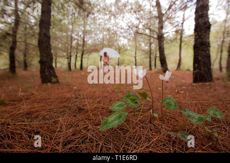 Flowering Persian Violets (Cyclamen persicum). Photographed in Manashe Forest, Israel in December. Out of focus children hiking in background - Stock Photo