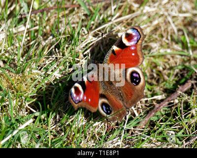 Peacock Butterflies, UK - Stock Photo