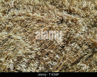 golden wheat stalks in a field ready for harvest. - Stock Photo