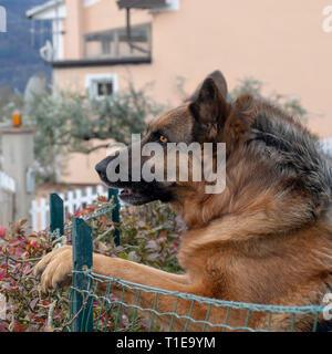 Head shot of German Shepherd or Alsatian dog outdoors in garden. Beautiful dog. - Stock Photo