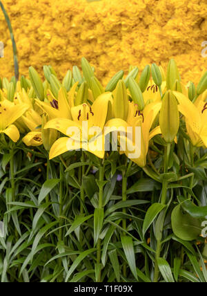 Floristic decoration with yellow lilies and tulips - Stock Photo