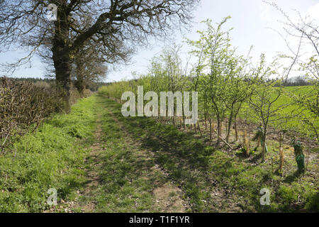 A newly planted hedgerow in Worcestershire, England, UK. - Stock Photo