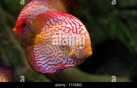 Discus fish floating in the aquarium. Freshwater fish in home aquarium. Big fishes for your home decor. - Stock Photo
