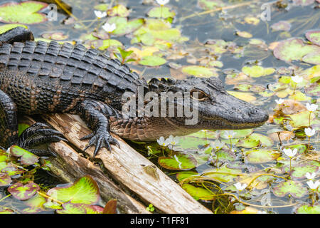 Mid sized American Alligator resting on log in lily pond in the Everglades National Park in Florida with flowers and lily pads showing gator details