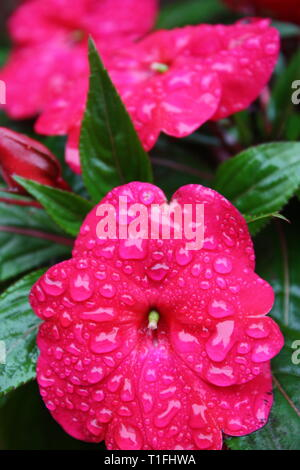 Pink impatien flowers - Stock Photo