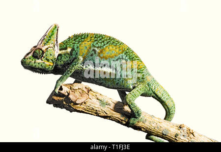 A green yellow chameleon stands on a branch against a white background. - Stock Photo