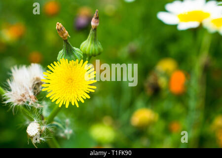 macro shot ofwildflower,dandelion with hairy seeds and blurred background. - Stock Photo