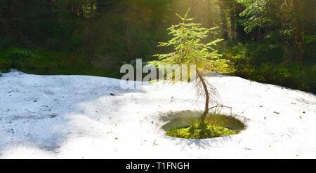 Small fir tree and snow around - Stock Photo