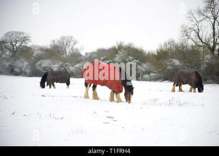 Hook Norton Brewery's shire horses in a snow covered field in the north Oxfordshire village of Hook Norton - Stock Photo