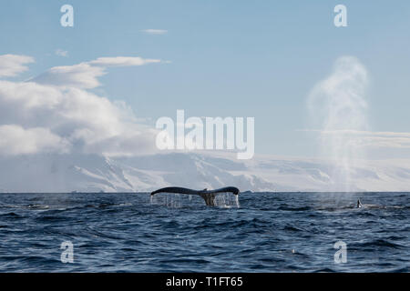 Antarctica. Cuverville Island located within the Errera Channel between Ronge Island and the Arctowski Peninsula. Three Humpback whales. - Stock Photo