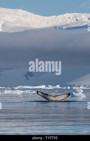 Antarctica. Cuverville Island located within the Errera Channel between Ronge Island and the Arctowski Peninsula. Humpback whales. - Stock Photo