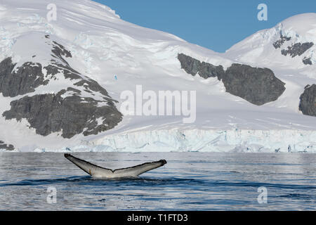Antarctica. Cuverville Island located within the Errera Channel between Ronge Island and the Arctowski Peninsula. Humpback whale (Megaptera novaeangli - Stock Photo
