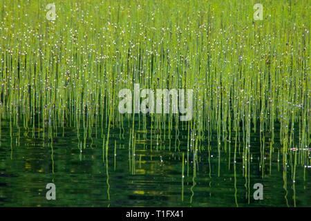 Lots of bright green rushes in the lake water - Stock Photo