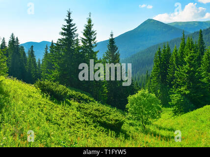 View of evergreen conifer forest in summer - Stock Photo
