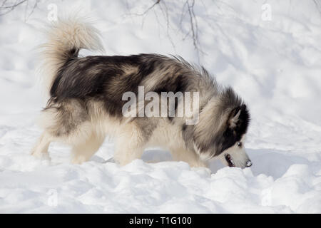Long-haired siberian husky is sniffing traces on white snow. Pet animals. Purebred dog. - Stock Photo