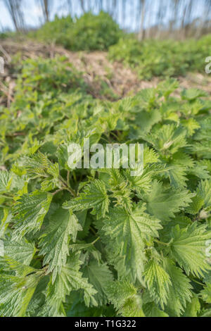 Foliage leaves of common Stinging Nettle / Urtica dioica on waste ground, Well-known foraged food in making nettle soup. Painful sting, bed of nettles - Stock Photo