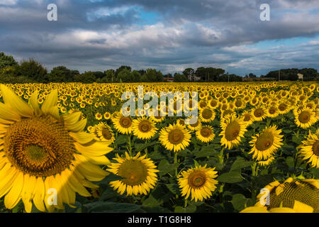 A large field of bright yellow sunflowers stretches into the distance in a field in Tuscany, Italy with a moody overcast sky - Stock Photo