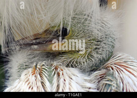Close up of a newly hatched wild baby Snowy Egret  snuggled in its mothers white fluffy feathers.  Photographed in the Florida Everglades, USA. - Stock Photo