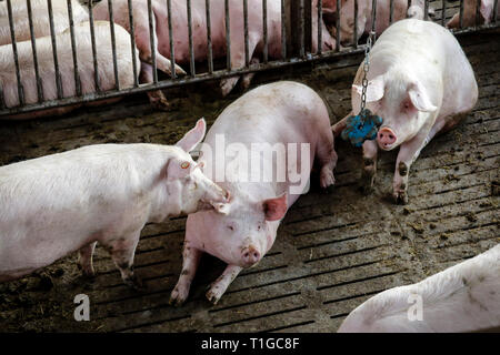 07.03.2019, Ense, North Rhine-Westphalia, Germany - Modern fattening house, the modern pigsty provides for more animal welfare among other things by m - Stock Photo