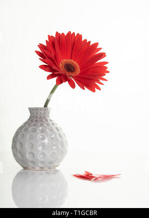 Beautiful red Gazania flower on a white stylish vase. Creative Still life photography - Stock Photo